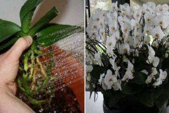 Пересадила орхидеи необычным способом… когда гости увидели моих красавиц, ахнули!