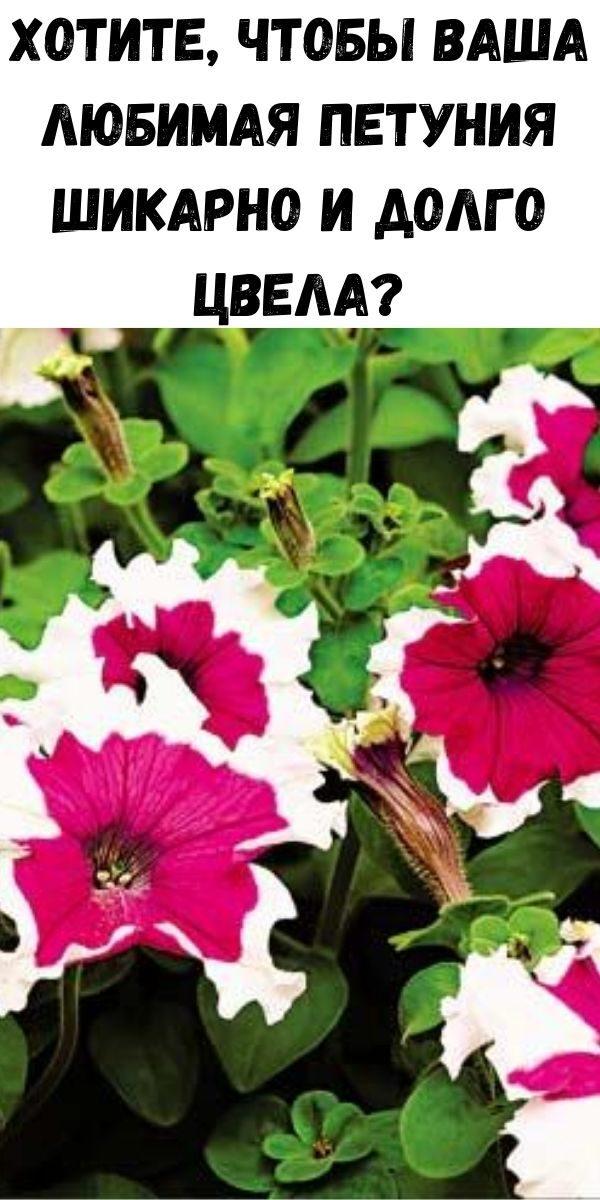 hotite-chtoby-vasha-lyubimaya-petuniya-shikarno-i-dolgo-cvela-2-1877751