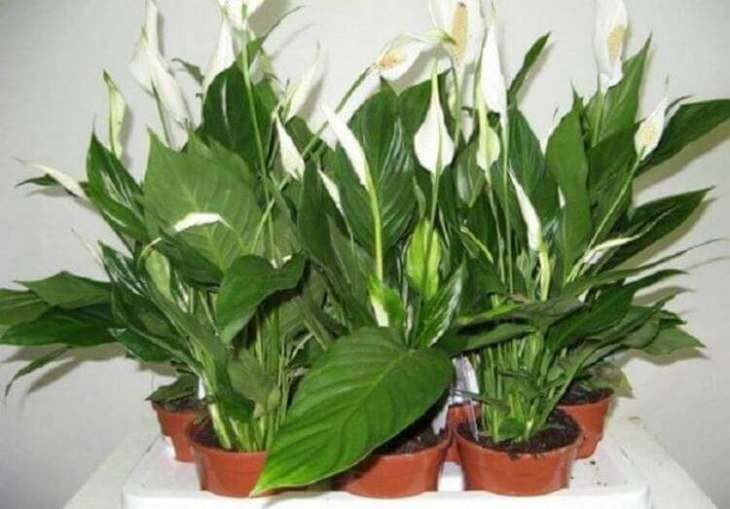 top-5-cvetov-i-rasteniy-kotorye-privlekayut-v-dom-lyubov-schast-e-i-udachu-2-5972895
