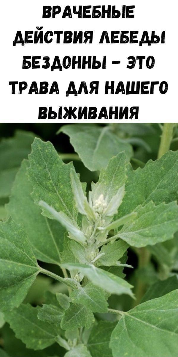 vrachebnye-deystviya-lebedy-bezdonny-eto-trava-dlya-nashego-vyzhivaniya-2-7347722
